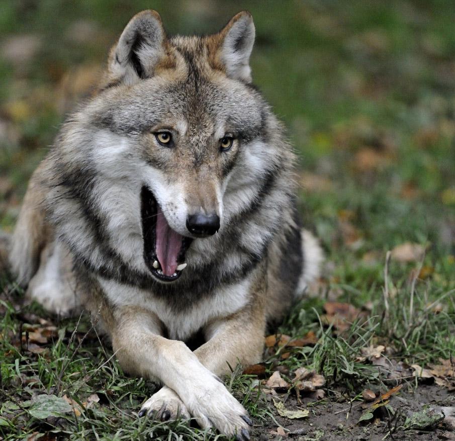 wilderei wolf luchs und greifv246gel brauchen hilfe mf